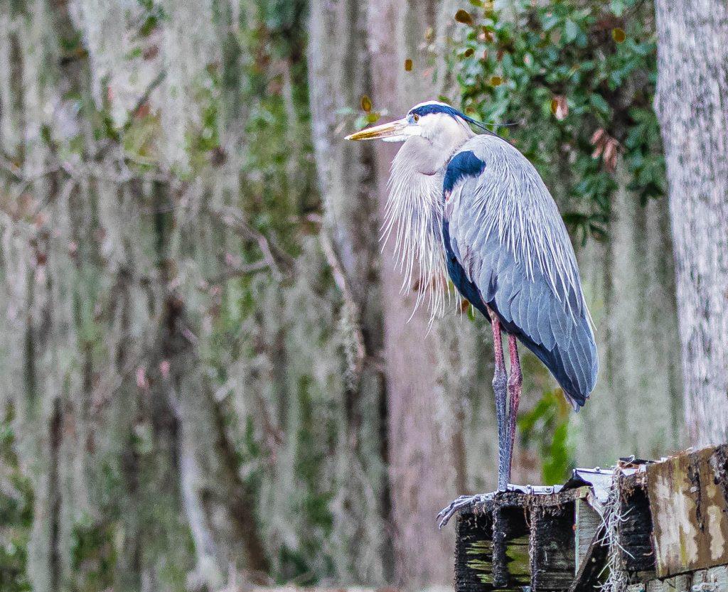 1605113160-file-709-Blue-Heron-1-of-1