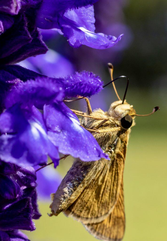 Butterfly 5 Pinckney NWR 5.16.2020
