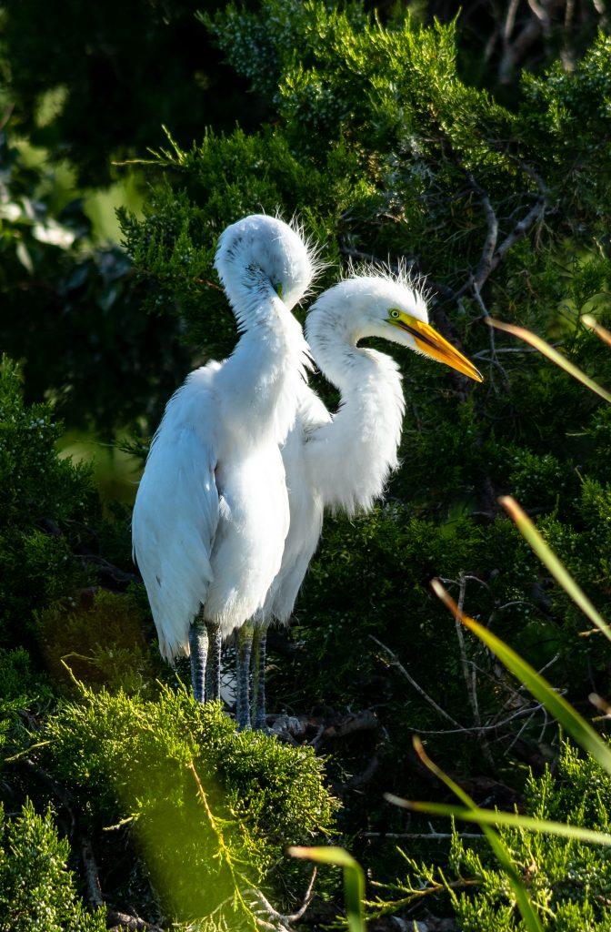 Great Egret chicks Pinckney NWR 5.16.2020