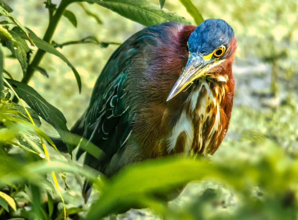 GreenHeron Port Royal Cypress Wetlands 7.19.2020