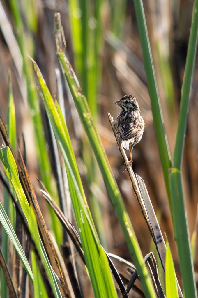 Savannah Sparrow Savannah NWR 4.4.2020