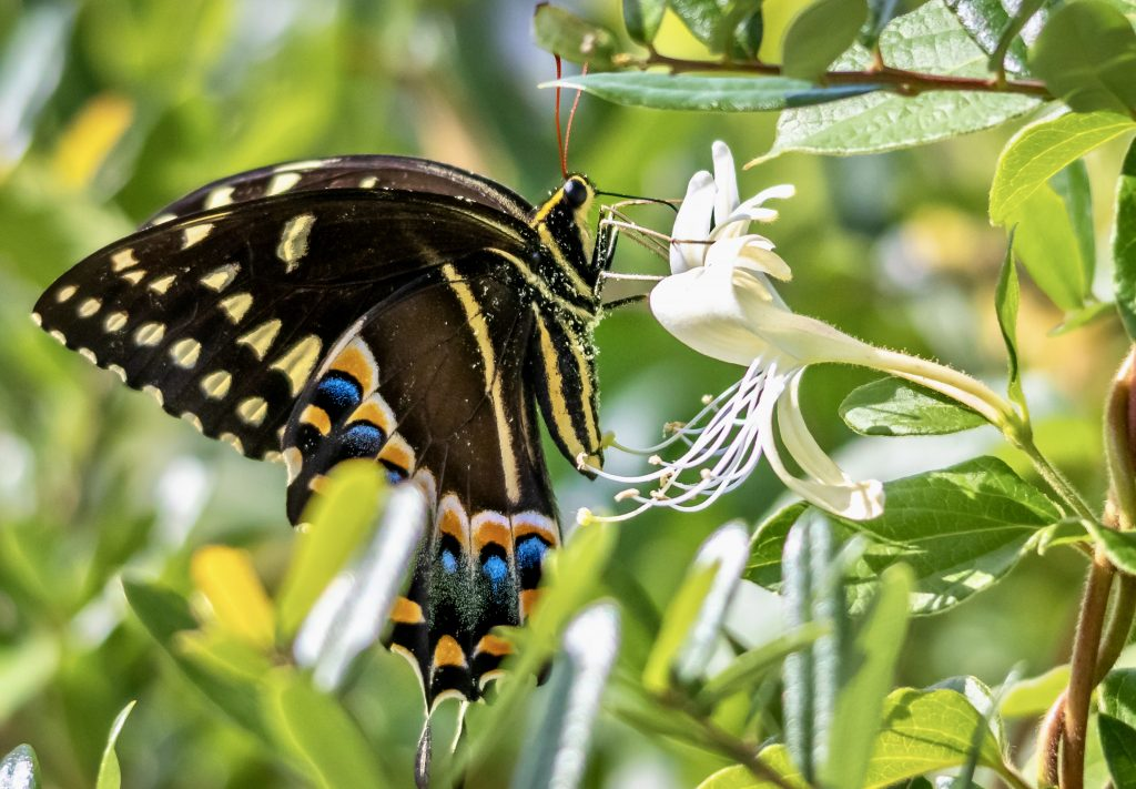 Swallowtail butterfly Donnelley WMA 4.26.2020