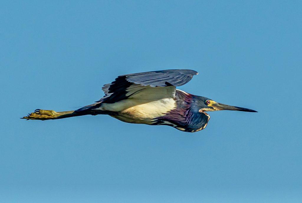 Tricolored Heron Savannah NWR 5.30.2020-8430