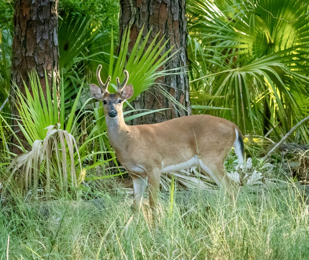 Whitetail Deer Hunting Island SP 6.21.2020