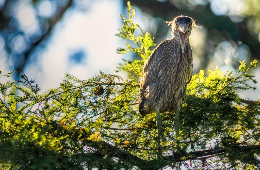 Yellow-crowned Night Heron fledgeling Port Royal Cypress Wetlands 7.19.2020